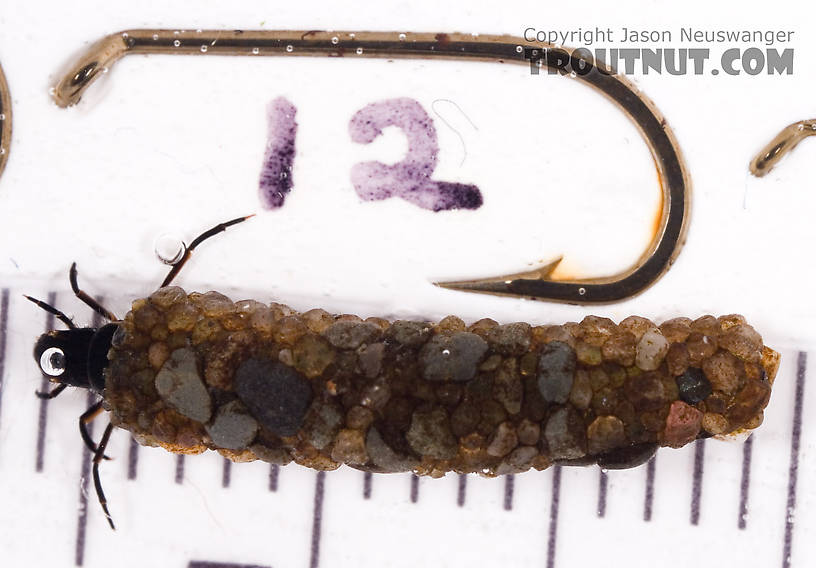 Psilotreta labida (Dark Blue Sedge) Caddisfly Larva from Fall Creek in New York