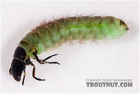 Psilotreta labida (Dark Blue Sedge) Caddisfly Larva