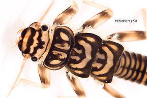 Agnetina capitata (Golden Stone) Stonefly Nymph