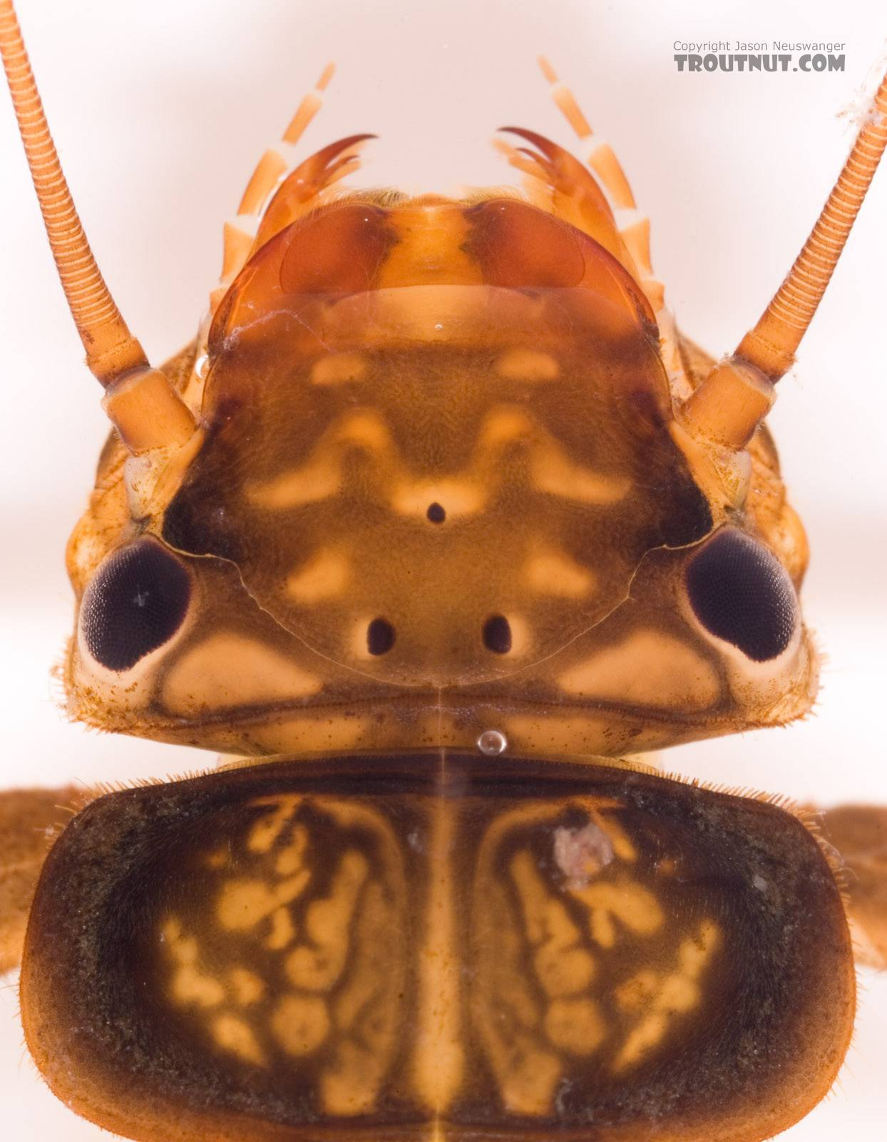 Paragnetina media (Embossed Stonefly) Stonefly Larva from Fall Creek in New York