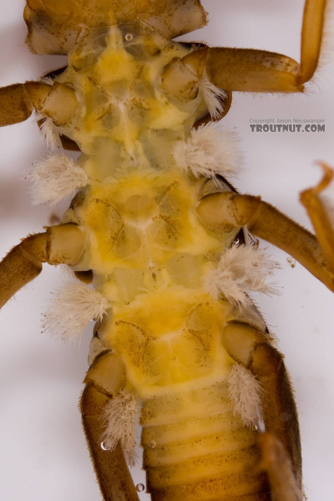 Paragnetina media (Embossed Stonefly) Stonefly Larva from Fall Creek in New York