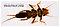 Paragnetina media (Embossed Stonefly) Stonefly Larva