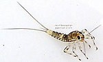 Baetidae (Blue-Winged Olives) Mayfly Nymph