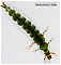 Rhyacophila fuscula (Green Sedge) Caddisfly Larva