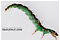 Rhyacophila fuscula (Green Sedge) Caddisfly Larva