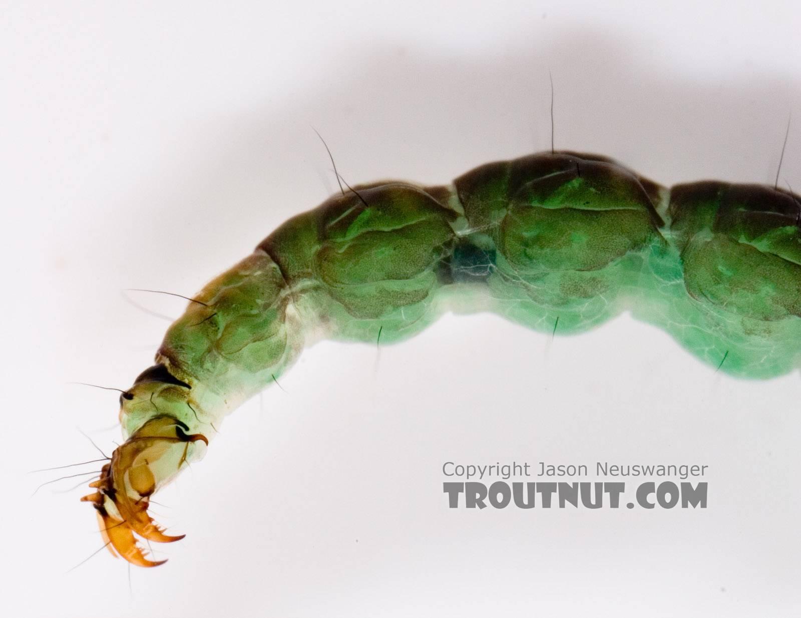 Rhyacophila fuscula (Green Sedge) Caddisfly Larva from Mystery Creek #62 in New York