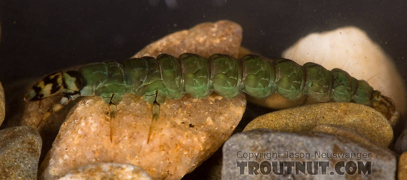 Rhyacophila fuscula (Green Sedge) Caddisfly Larva from Mystery Creek #62 in New York