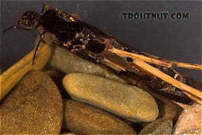 Pycnopsyche (Great Autumn Brown Sedges) Caddisfly Larva
