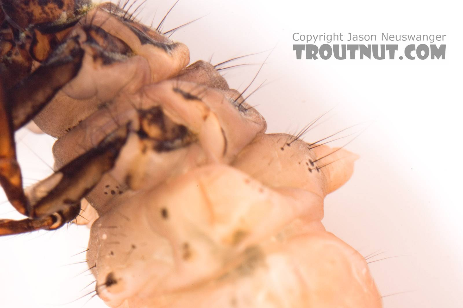 Pycnopsyche (Great Autumn Brown Sedges) Caddisfly Larva from Mystery Creek #62 in New York