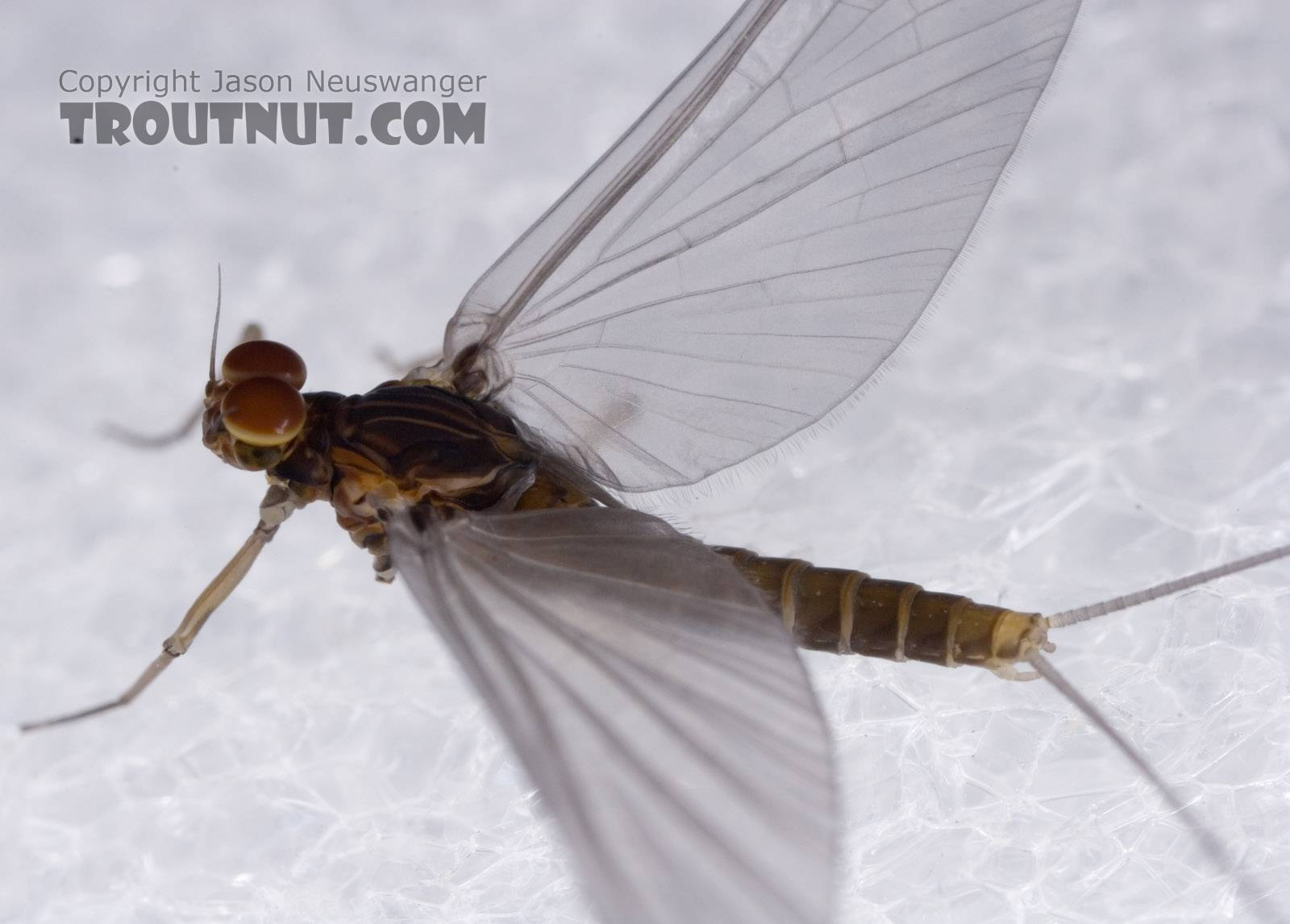 Male Baetis tricaudatus (Blue-Winged Olive) Mayfly Dun from Owasco Inlet in New York
