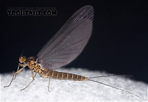 Female Baetis tricaudatus (Blue-Winged Olive) Mayfly Dun
