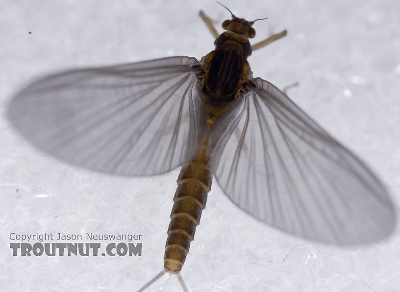 Female Baetis tricaudatus (Blue-Winged Olive) Mayfly Dun from Owasco Inlet in New York