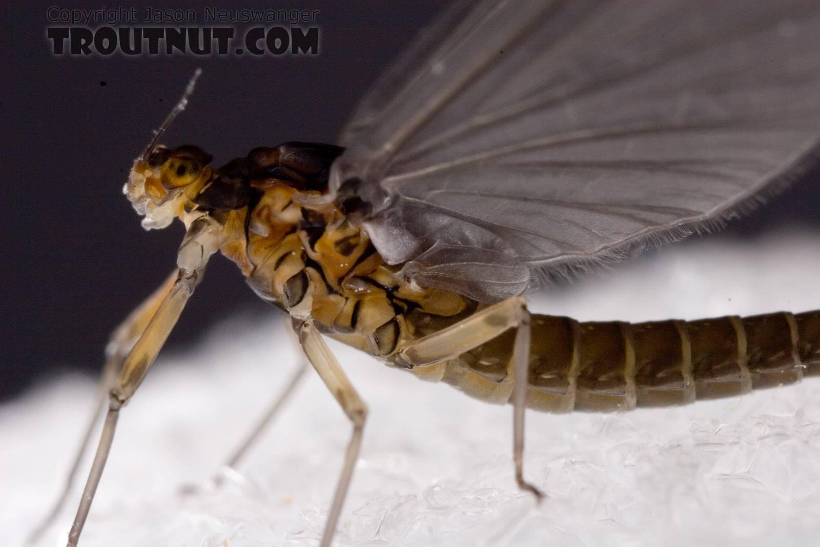 Female Baetis tricaudatus (Blue-Winged Olive) Mayfly Dun from Owasco Inlet in New York
