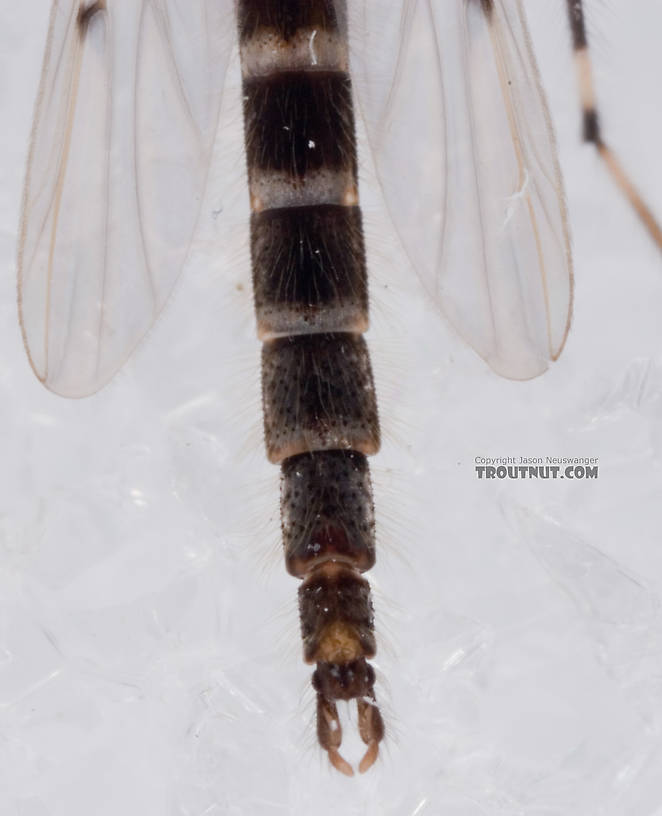 Male Stictochironomus Midge Adult from Mystery Creek #62 in New York