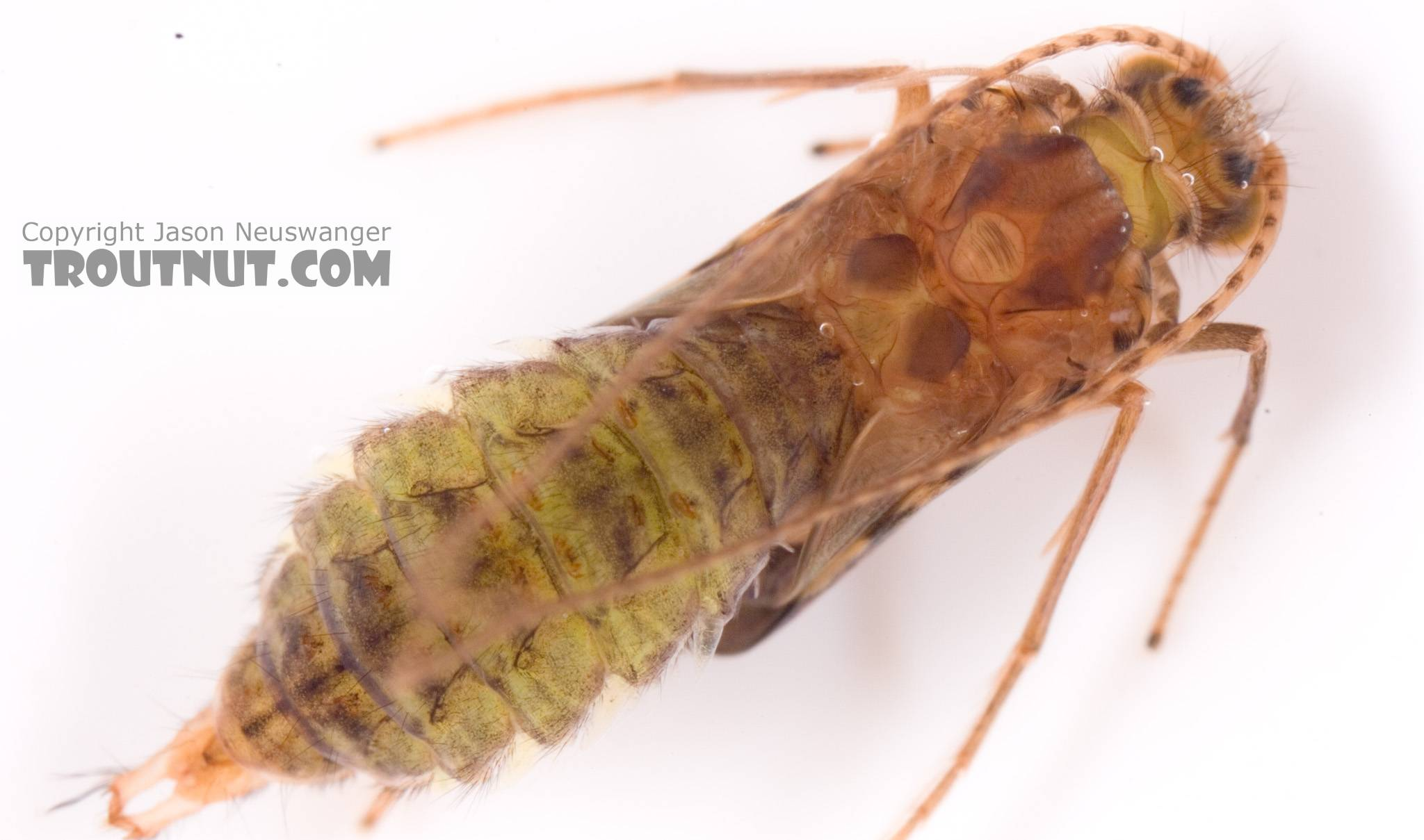 Cheumatopsyche (Little Sister Sedges) Caddisfly Pupa from Cayuta Creek in New York