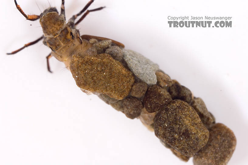 Neophylax (Autumn Mottled Sedges) Caddisfly Larva from Cayuta Creek in New York