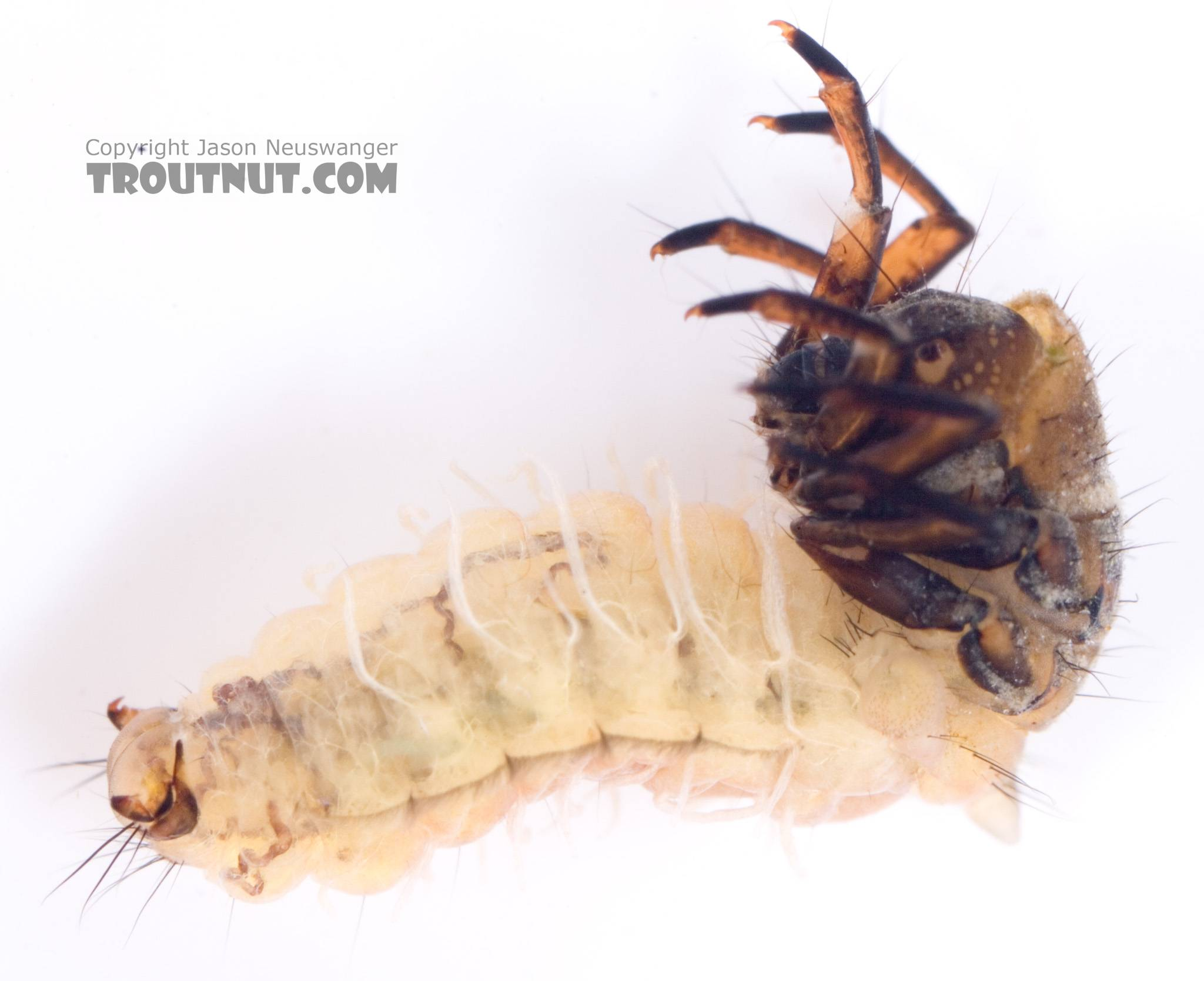 Neophylax (Autumn Mottled Sedges) Caddisfly Larva from Cayuta Creek in New York