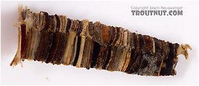 Brachycentrus (Grannoms) Caddisfly Pupa