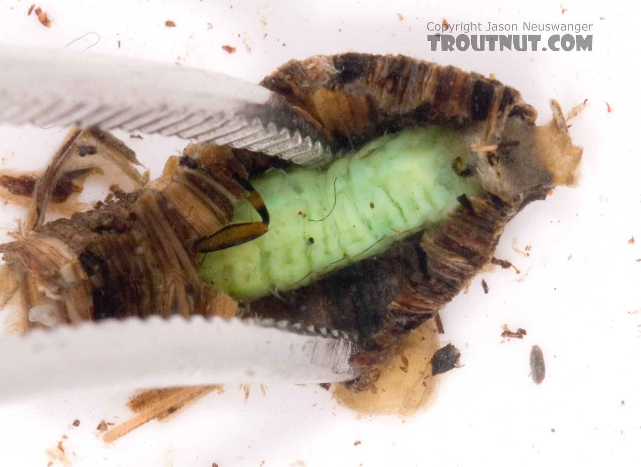 I wasn't so sure I would get this thing out of its case intact, so I took a picture during the extraction attempt.  I did end up knocking a few legs off in the process... oops.  Brachycentrus (Grannoms) Caddisfly Pupa from Cayuta Creek in New York