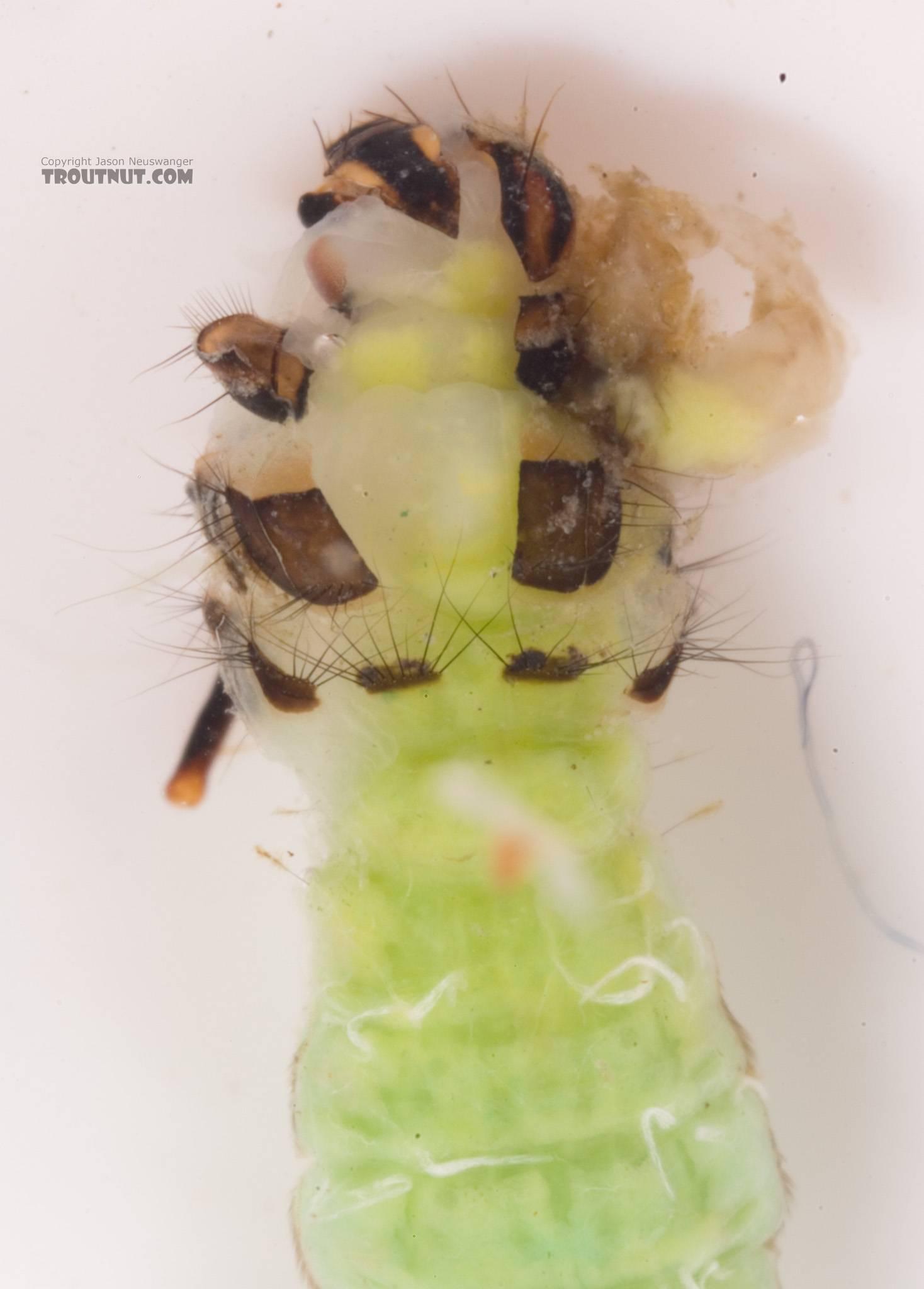 Incredible hulk?  Brachycentrus (Grannoms) Caddisfly Pupa from Cayuta Creek in New York