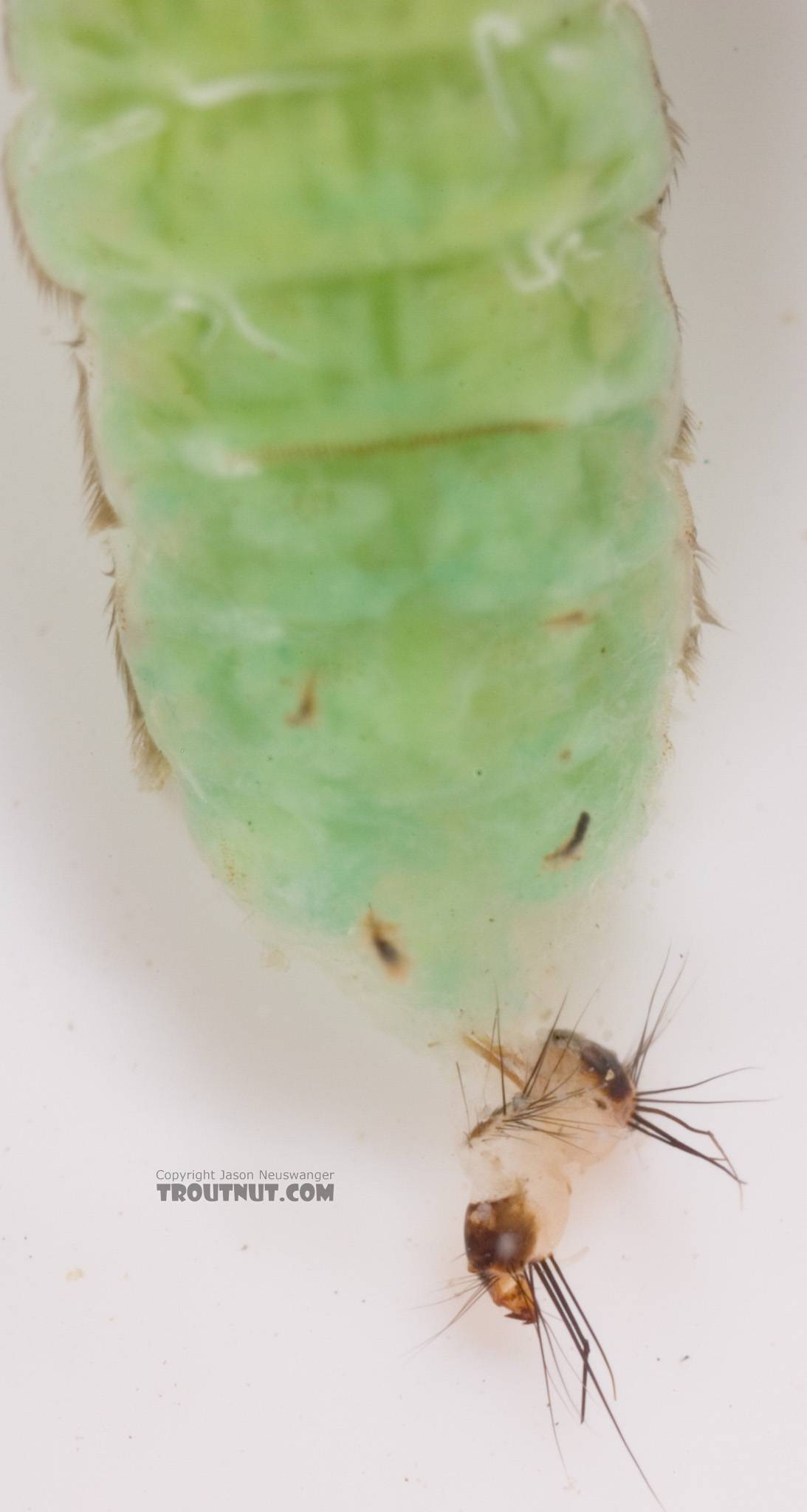 Brachycentrus (Grannoms) Caddisfly Pupa from Cayuta Creek in New York