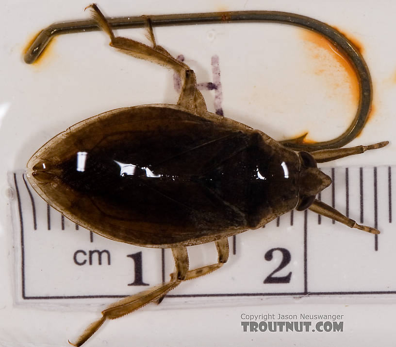 Belostoma flumineum (Electric Light Bug) Giant Water Bug Adult from the West Branch of Owego Creek in New York