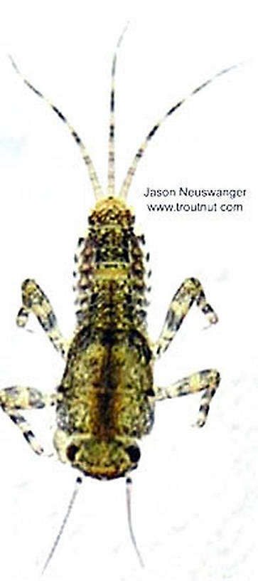 Ephemerella invaria (Sulphur Dun) Mayfly Nymph from the Namekagon River in Wisconsin