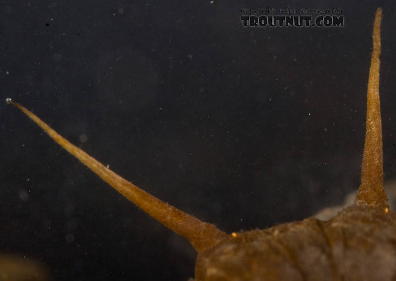 Closeup of a couple of the gills.  Nigronia serricornis (Fishfly) Hellgrammite Larva from Factory Brook in New York