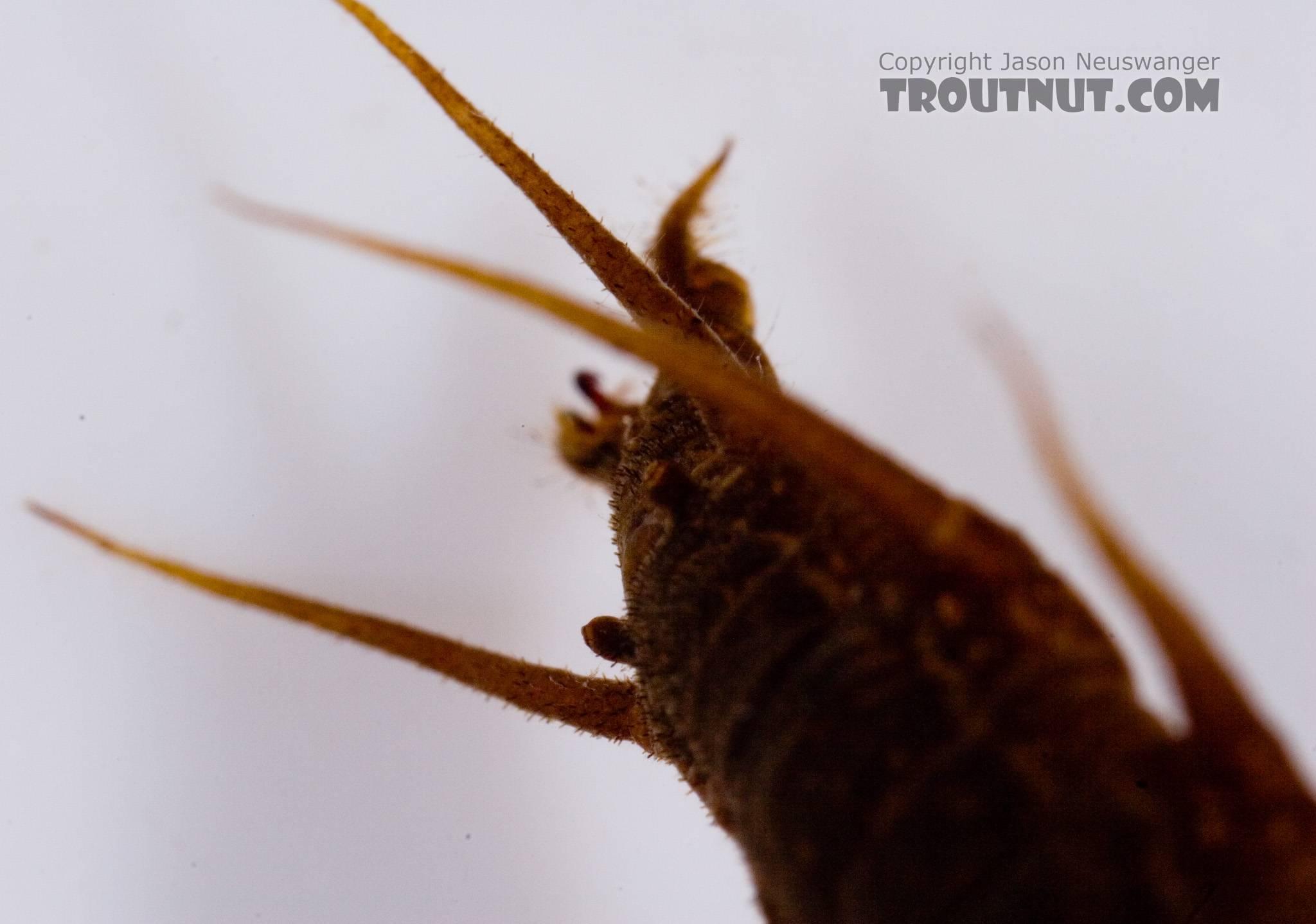 Nigronia serricornis (Fishfly) Hellgrammite Larva from Factory Brook in New York