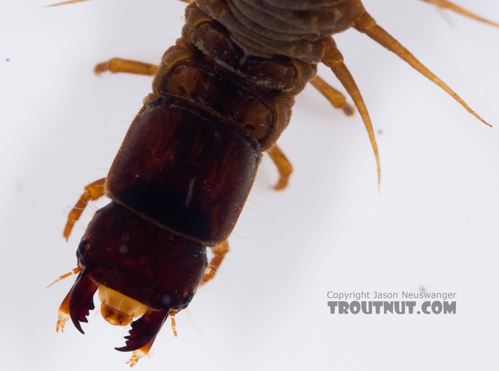 Nigronia serricornis (Fishfly) Hellgrammite Larva from Factory Brook in New York