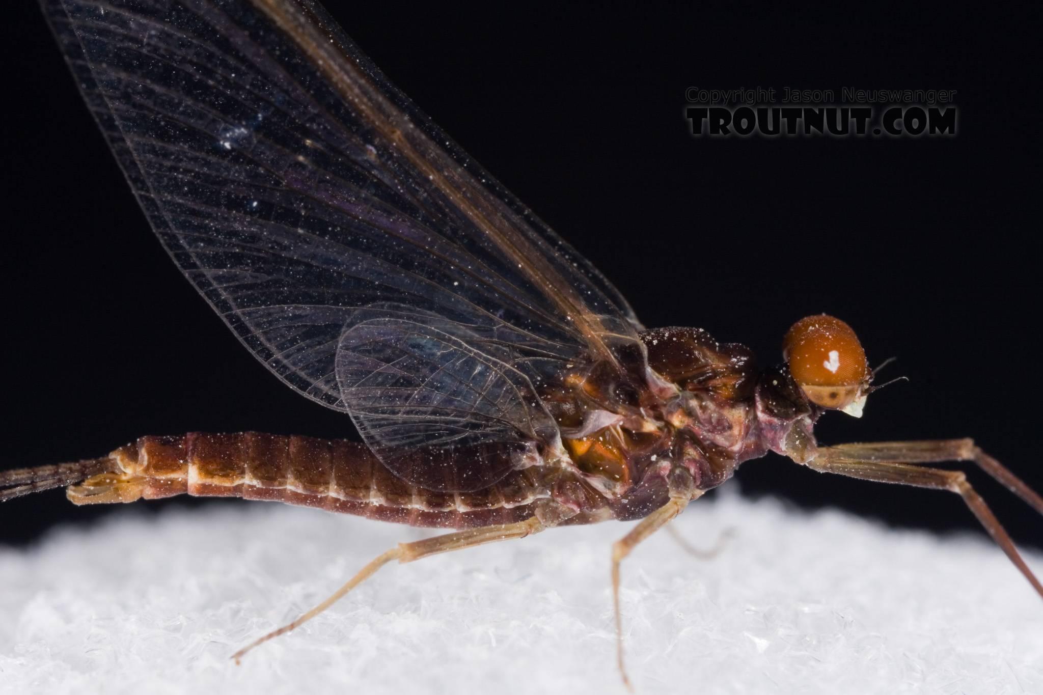 Male Ephemerella subvaria (Hendrickson) Mayfly Spinner from Fall Creek in New York