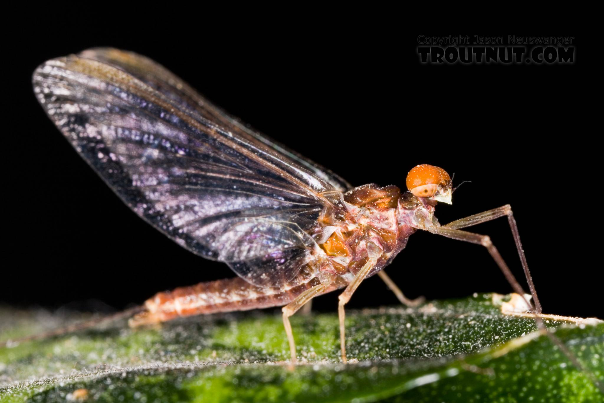 Male Ephemerella subvaria (Hendrickson) Mayfly Spinner from Fall Creek in New York