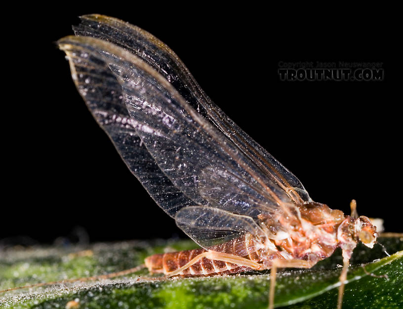 Female Ephemerella subvaria (Hendrickson) Mayfly Spinner from Fall Creek in New York