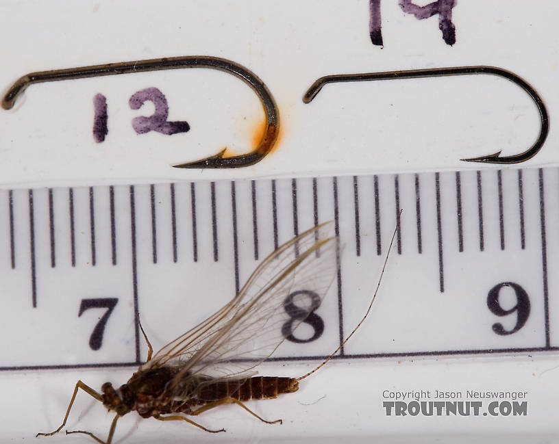 Female Ephemerella subvaria (Hendrickson) Mayfly Spinner from Fall Creek in New York