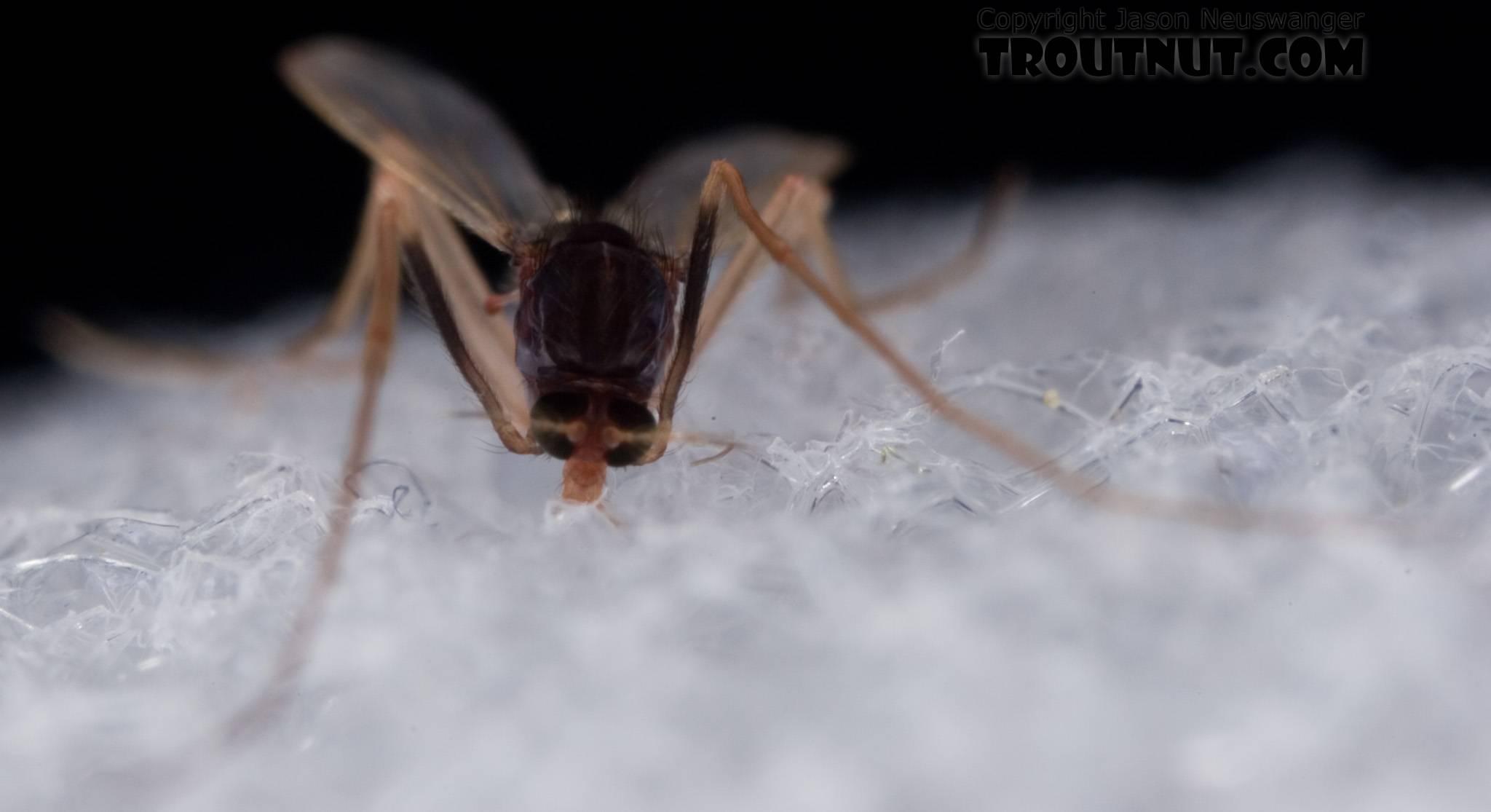 Chironomidae (Midges) Midge Adult from Mystery Creek #62 in New York
