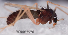 Chironomidae (Midges) True Fly Adult