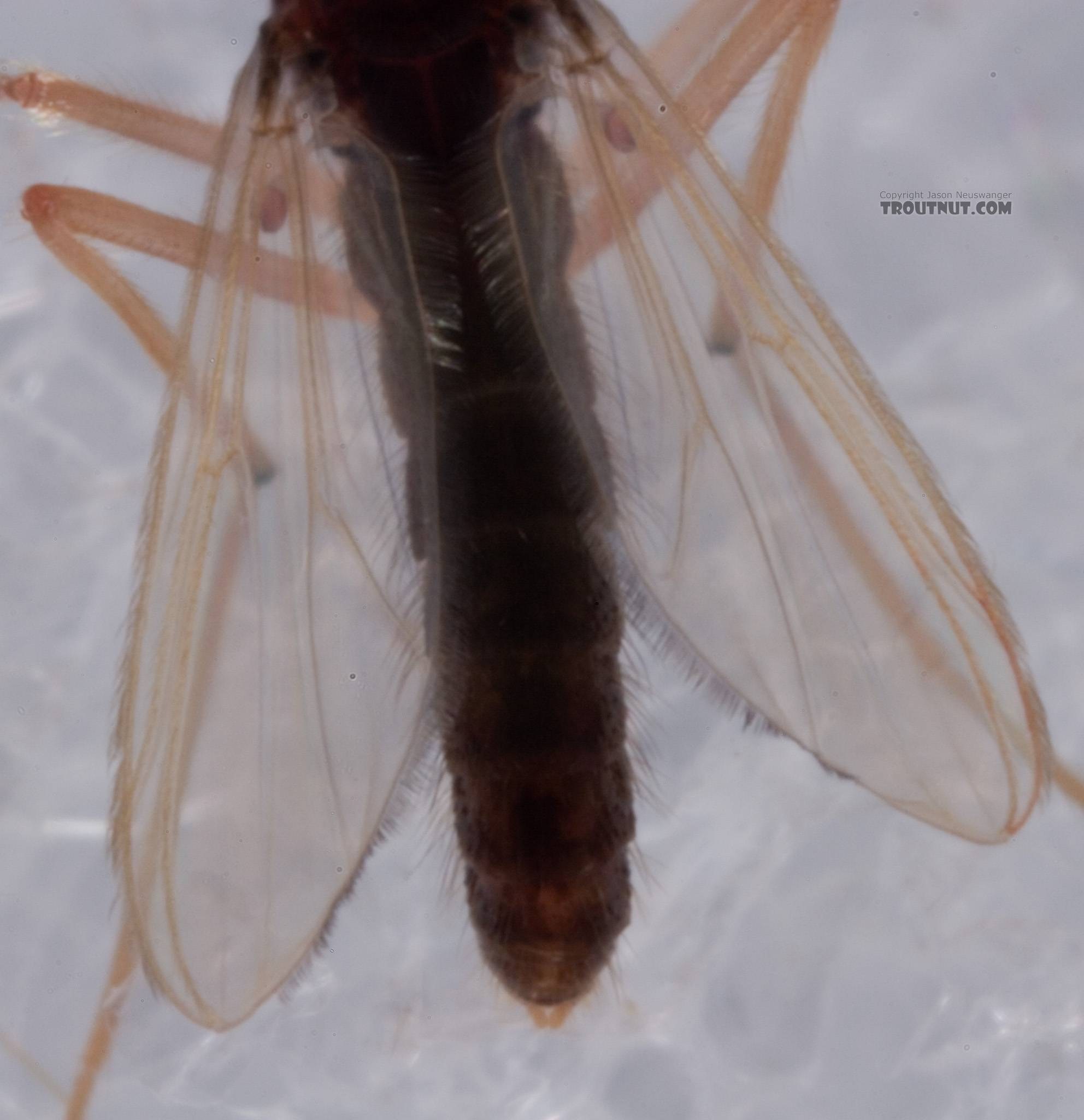 Chironomidae (Midges) Midge Adult from Mystery Creek #62 in New York