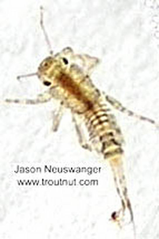 Ephemerellidae (Hendricksons, Sulphurs, PMDs, BWOs) Mayfly Nymph from the Namekagon River in Wisconsin