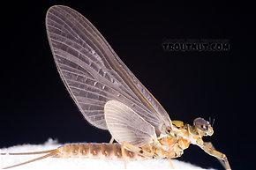 Male Epeorus pleuralis (Quill Gordon) Mayfly Dun