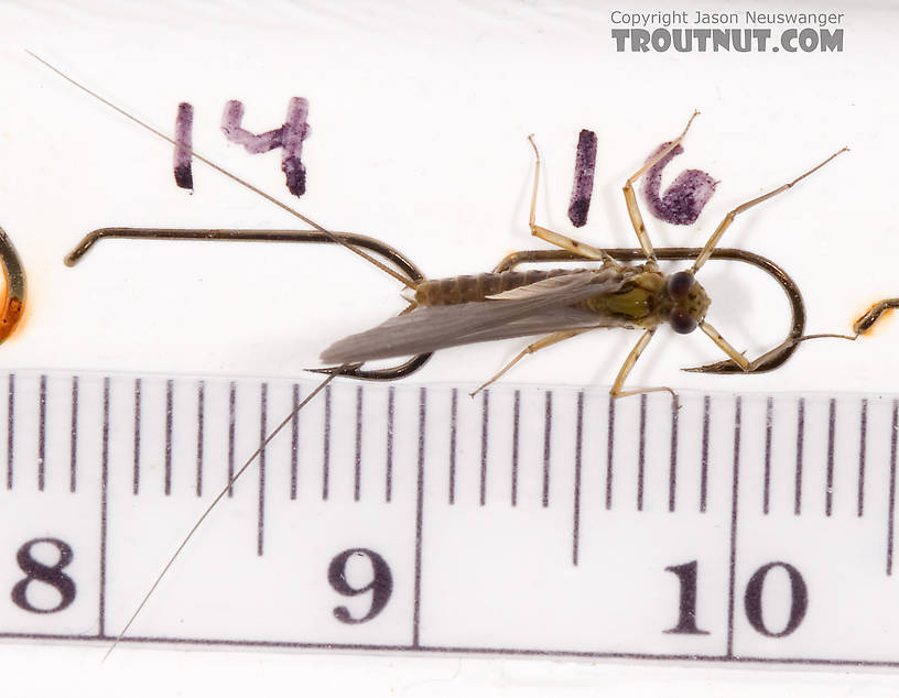 Male Epeorus pleuralis (Quill Gordon) Mayfly Dun from Dresserville Creek in New York
