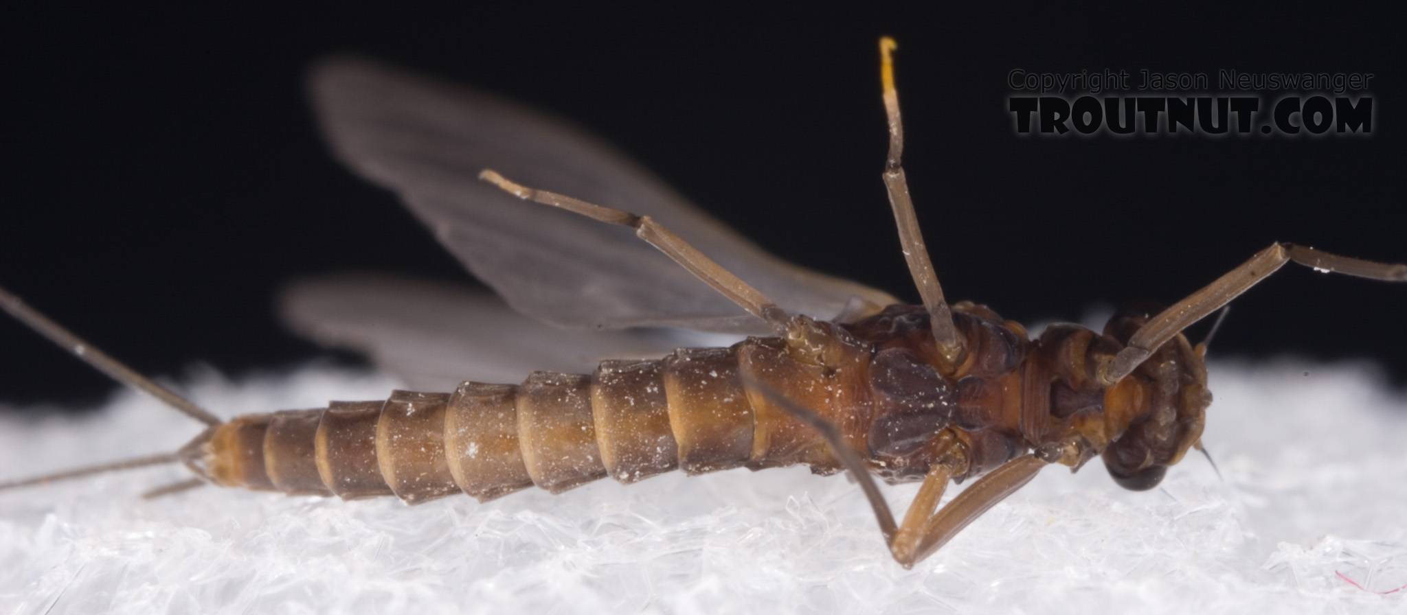 Male Neoleptophlebia adoptiva (Blue Quill) Mayfly Dun from Dresserville Creek in New York