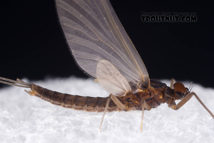 Male Paraleptophlebia adoptiva (Blue Quill) Mayfly Dun from Dresserville Creek in New York