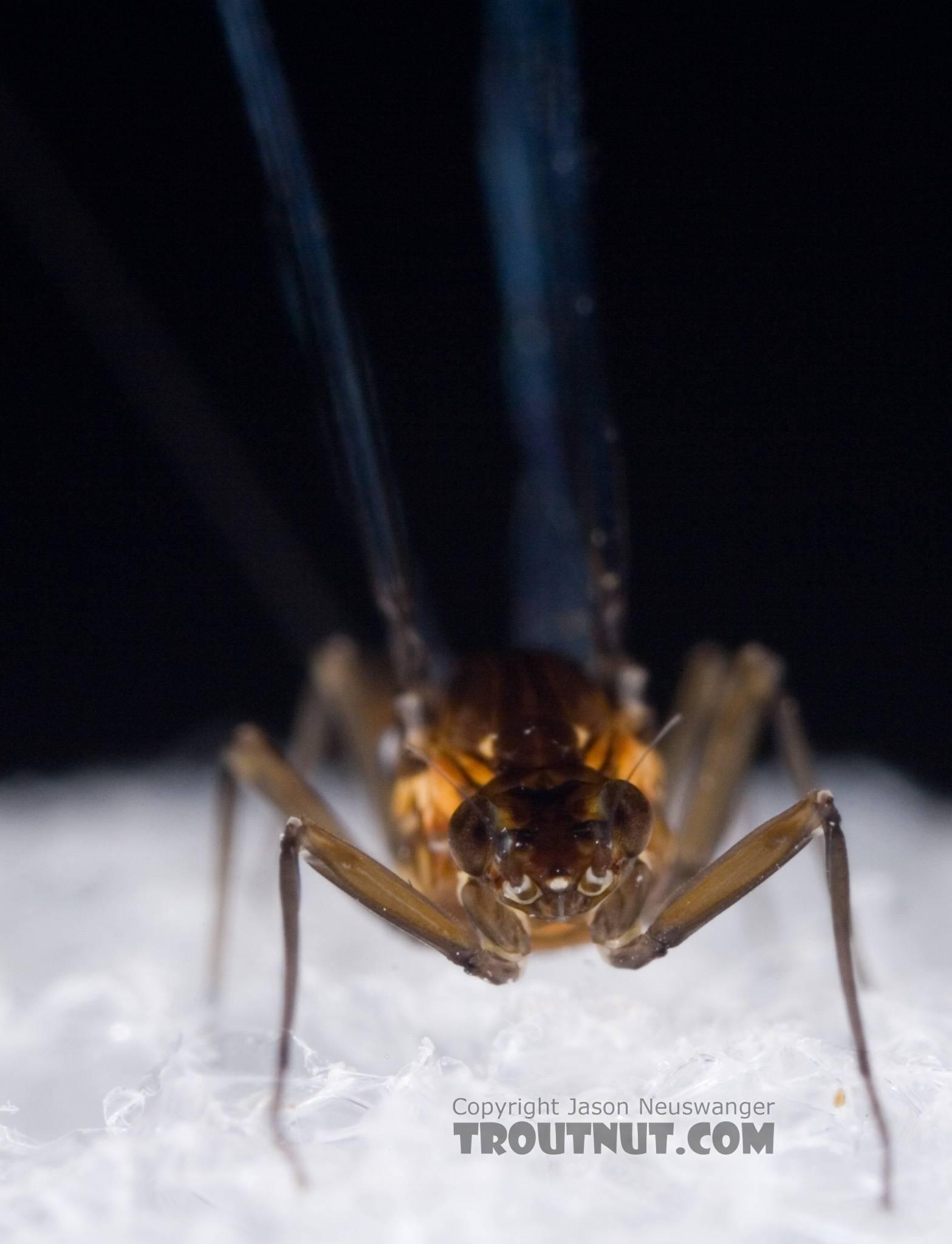 Female Baetidae (Blue-Winged Olives) Mayfly Spinner from Dresserville Creek in New York