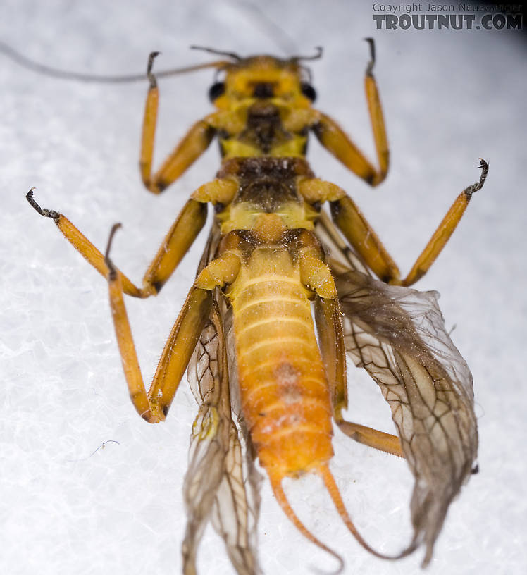 Agnetina capitata (Golden Stone) Stonefly Adult from Aquarium in New York