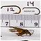 Agnetina capitata (Golden Stone) Stonefly Adult