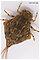 Baetisca obesa (Armored Mayfly) Mayfly Nymph