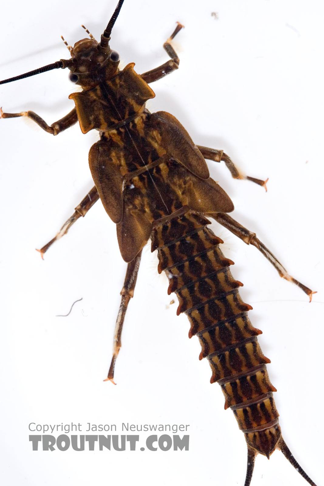 Pteronarcys biloba (Knobbed Salmonfly) Stonefly Nymph from the Neversink River (above reservoir) in New York
