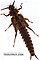 Pteronarcys biloba (Knobbed Salmonfly) Stonefly Nymph