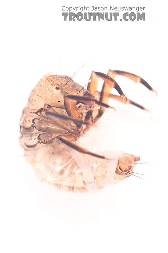 Neophylax (Autumn Mottled Sedges) Caddisfly Larva from the Neversink River (above reservoir) in New York