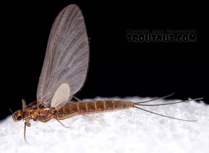 Male Paraleptophlebia (Blue Quills and Mahogany Duns) Mayfly Dun from the Neversink River in New York